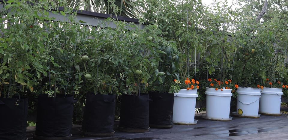 Brenda Brown Parent grows tomatoes, peppers, eggplant and okra in her container garden! Learn more on her blog, Access to the Garden.